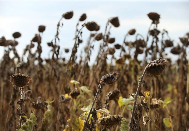 As plantas de girassol em campo seco do perto de Golssen, Alemanha. Região  foi atingida pela recente onda de seca e calor. (Foto: Sean Gallup/Getty Images)