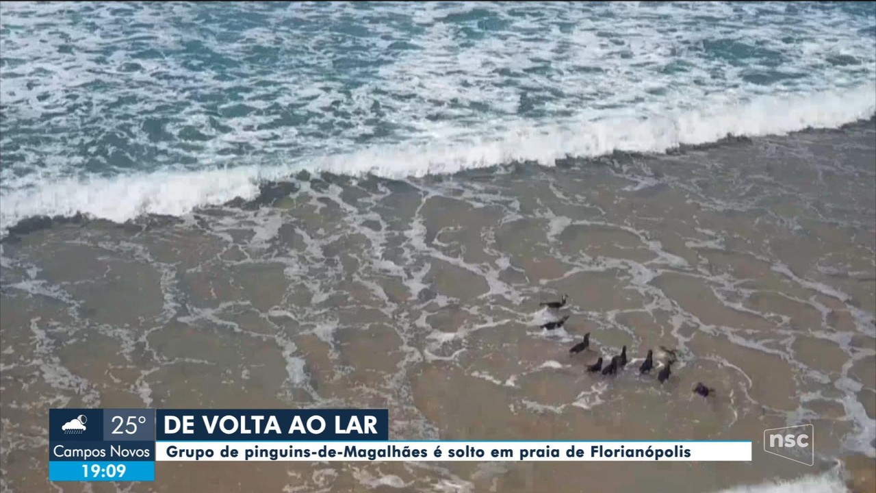 Pinguins resgatados são soltos em praia de Florianópolis