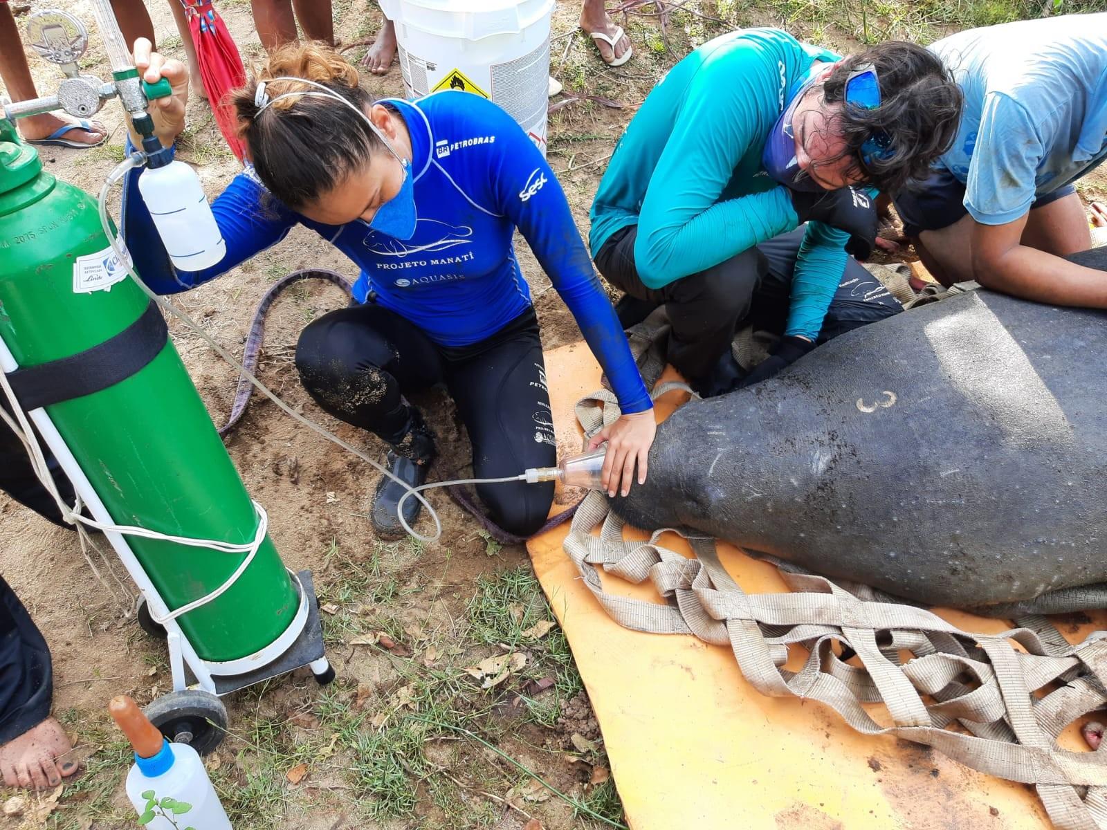 Peixe-boi é resgatada de rio menos de um mês depois de ser solta no mar do Ceará