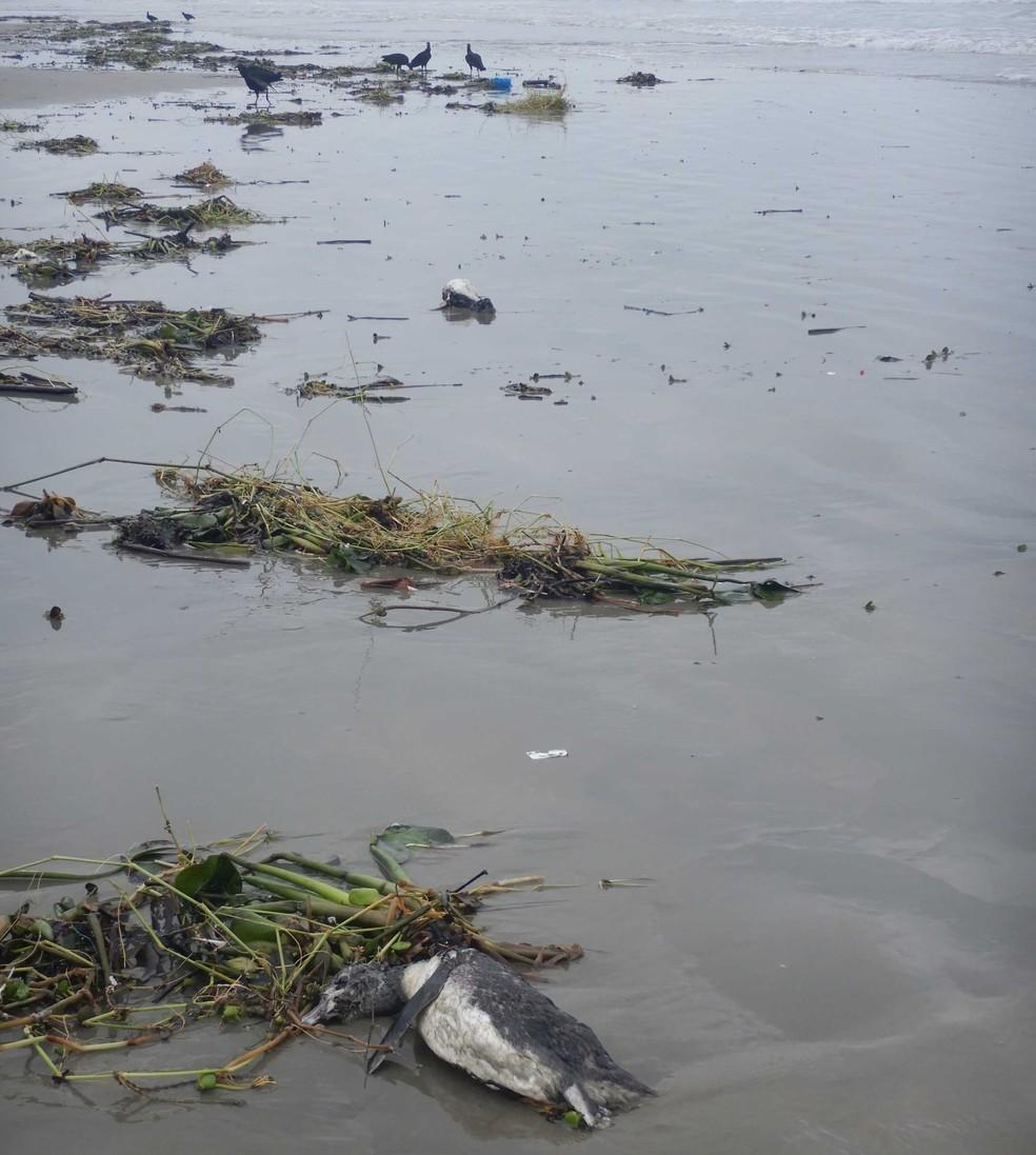 Pinguins são encontrados mortos em praia de Ilha Comprida (SP) — Foto: Divulgação/IPeC