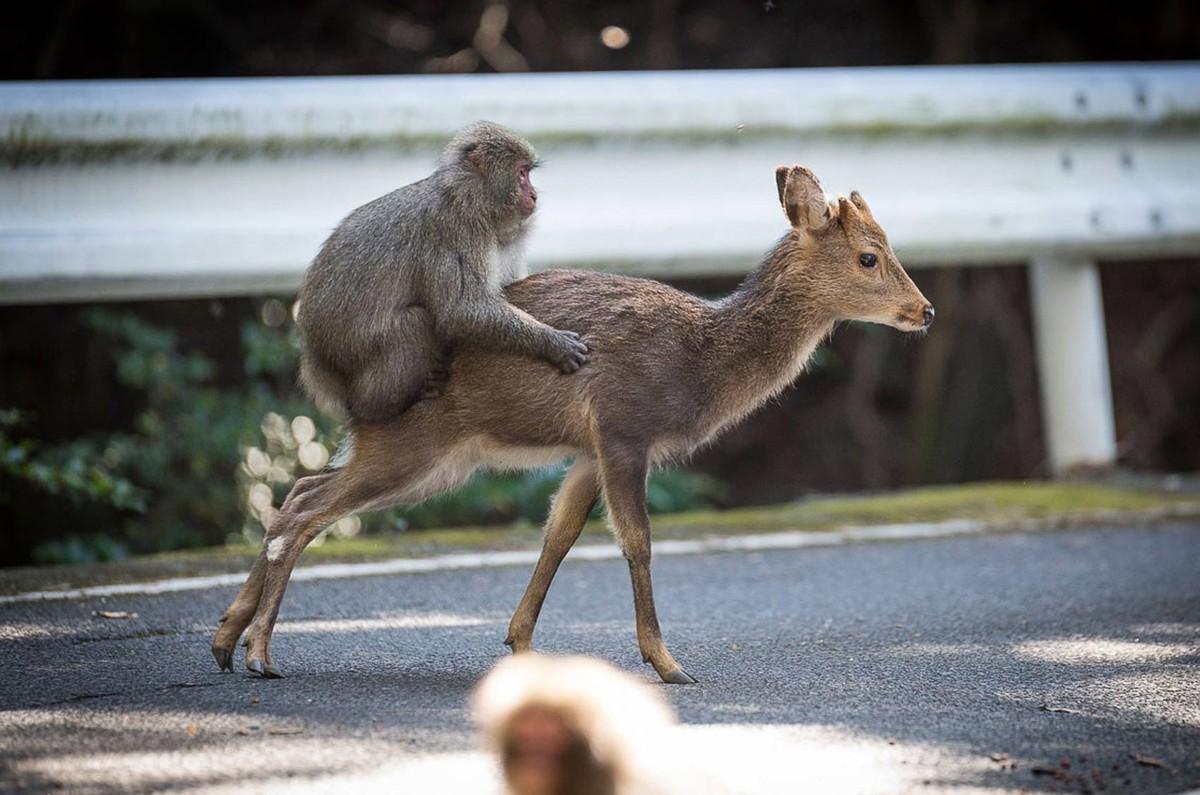 Macaco flagrado no Japão tentando copular com cerva intriga cientistas
