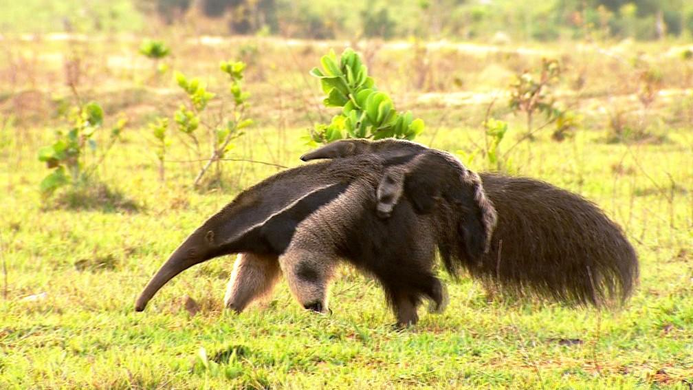 Tamanduá-bandeira filhote pega carona nas costas da mãe no Pantanal sul-mato-grossense (Foto: Alexandre Sá/TG)