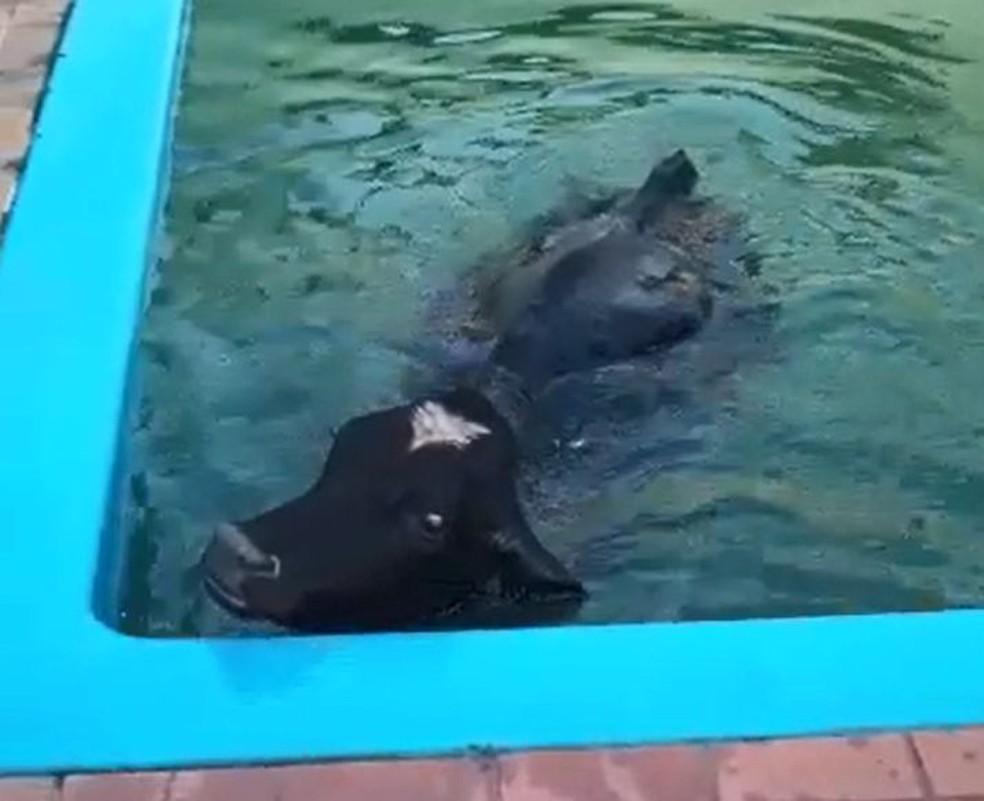 Boi surpreendeu os moradores de chácara em Salto Grande ao cair na piscina  — Foto: Ana Gozzo/ Arquivo pessoal