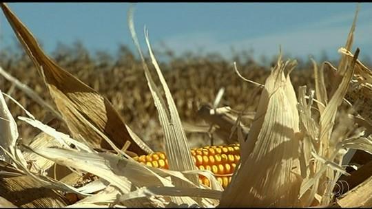 Queda na safra de milho coloca Rio Verde em situação de emergência