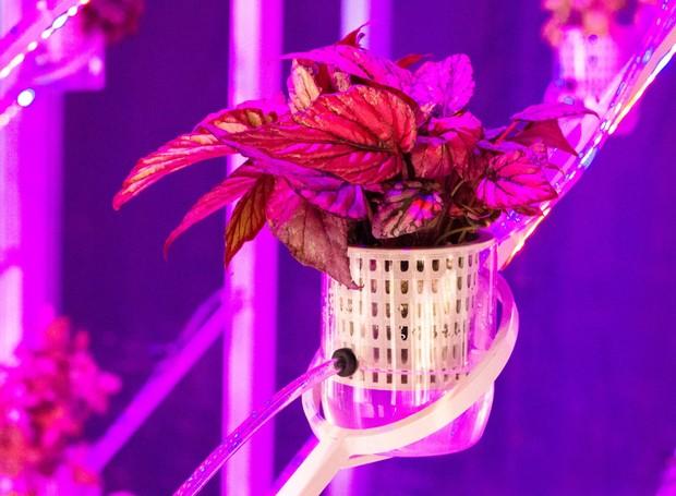 A luz violeta ajuda no desabrochamento (Foto: Deezen/ Reprodução)