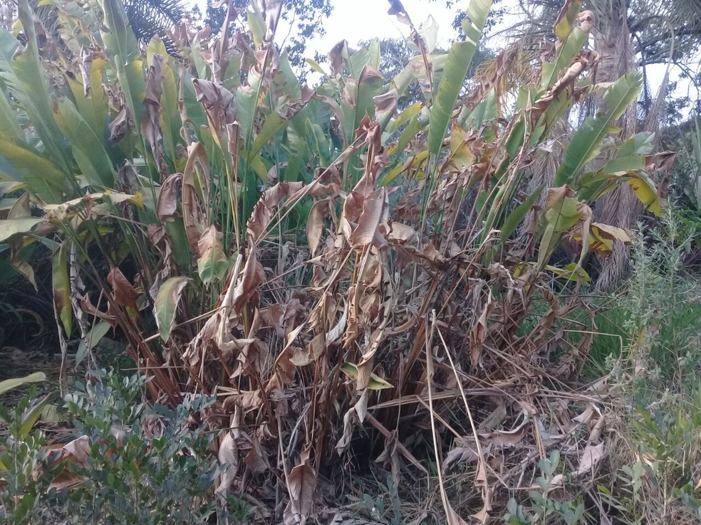 Plantação seca de flores tropicais em propriedade de Brazlândia (Foto: Rosany Carvalho/Arquivo pessoal)