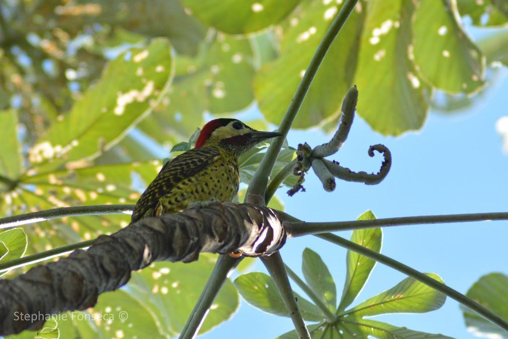 Pica-pau-verde-barrado (Colaptes melanochloros) — Foto: Stephanie Fonseca/G1