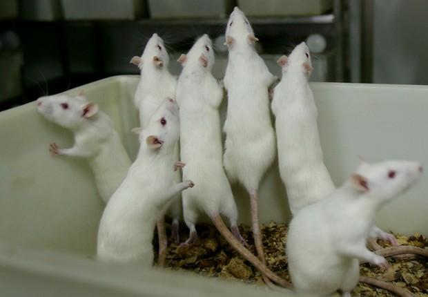 ratos de laboratório (Foto: China Photos/Getty Images)