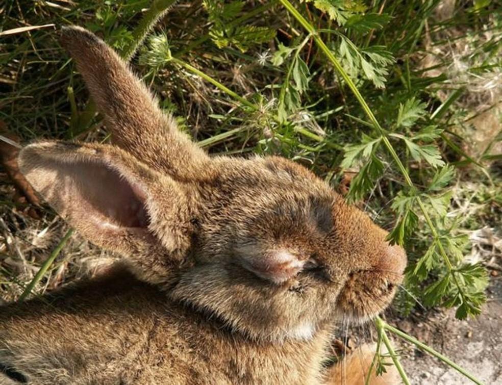 Coelho com mixomatose: doença provoca efeitos cruéis nos animais (Foto: Piet Spaans/Wikimedia Commons)