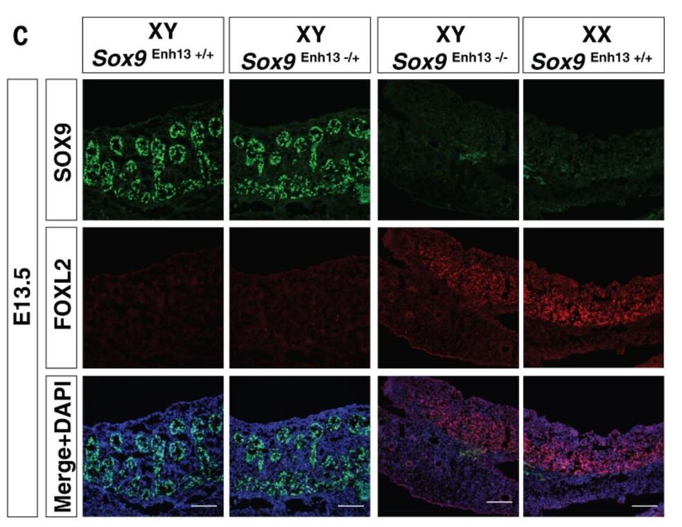 Imagem mostra ação da proteína Sox9 no desenvolvimento de gônadas sexuais. Nas duas primeiras colunas, o desenvolvimento de testículo na presença da proteína. Já nas duas últimas, cientistas mostram gônada revertida e gônada sem intervenção da ciência  (Foto: Gonen et al)