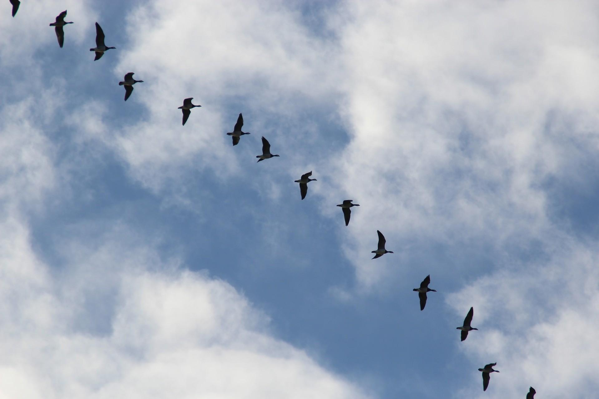 Aves de migração se orientam com base no campo magnético (Foto: Pixabay/ CC)