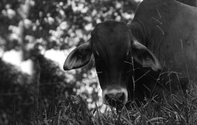 Pesquisa introduz gado de forma controlada para barrar gramínea invasora