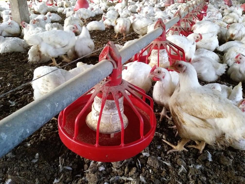 Na alimentação de frangos, o DDG pode ser utilizado em até 8% da dieta dos animais — Foto: Everaldo Santos/TV Globo