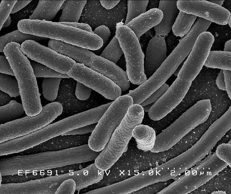 Bactérias que fazem parte da microbiota intestinal (Foto: Wikimedia Commons )