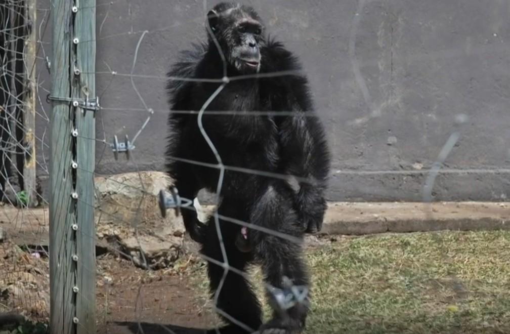 Os chimpanzés que caminham como humanos após anos de maus-tratos — Foto: Reprodução/BBC
