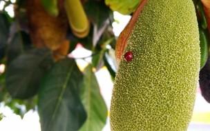 Cinco árvores frutíferas que amenizam o calor