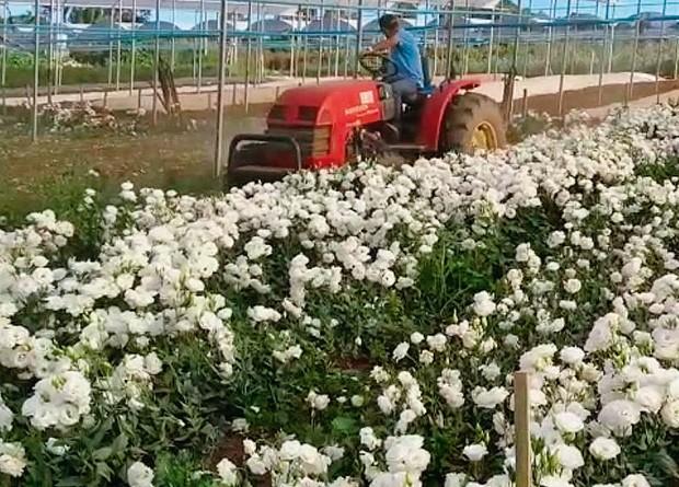 Produtores arrancam plantas que serão utilizadas como adubo (Foto: Divulgação)