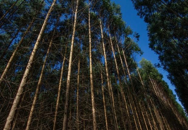Plantação de eucaliptos. Imagem produzida na base florestal da Fibria, produtora de celulose e eucalipto, localizada em Capão Bonito (SP). São Paulo  (Foto: Rogerio Albuquerque / Editora Globo)