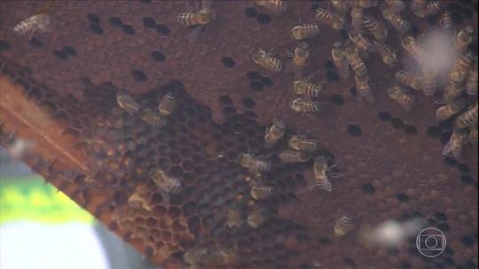 Morte de abelhas em Pernambuco é investigada e preocupa produtores de frutas