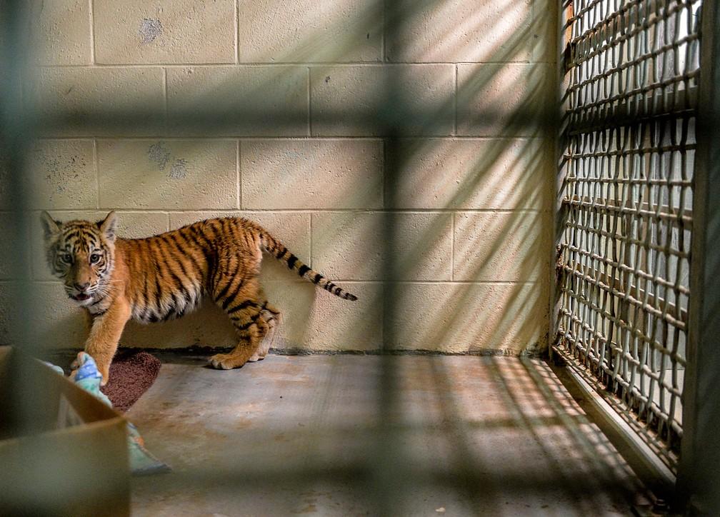 Filhote de tigre é abandonado em mochila na fronteira entre EUA e México (Foto: Jason Hoekema/The Brownsville Herald via AP)