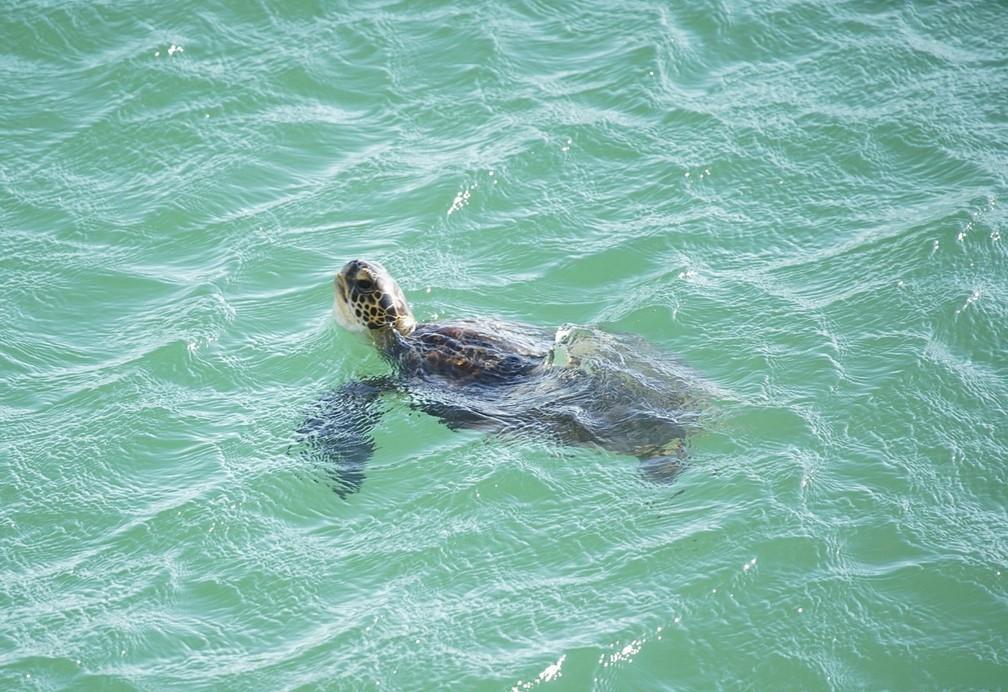 Tartaruga nada em mar cristalino na Praia do Leme, na Zona Sul do Rio — Foto: Marcos Serra Lima/G1
