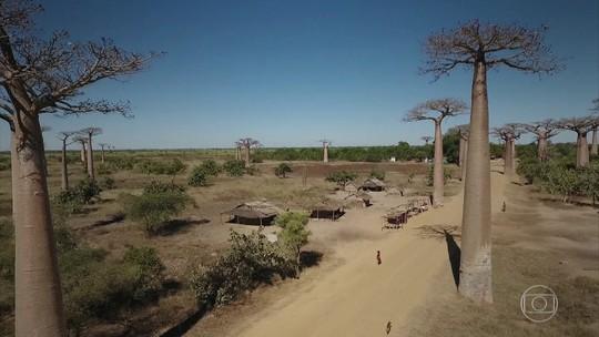 Baobás gigantes vivem mais de mil anos e são atração de Madagascar