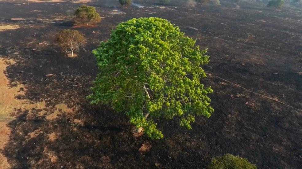 Verde da árvore contrasta com o cinza da paisagem do cerrado após área ter sido atingida por incêndio florestal em setembro — Foto: Luiz Felipe Mendes/Arquivo Pessoal