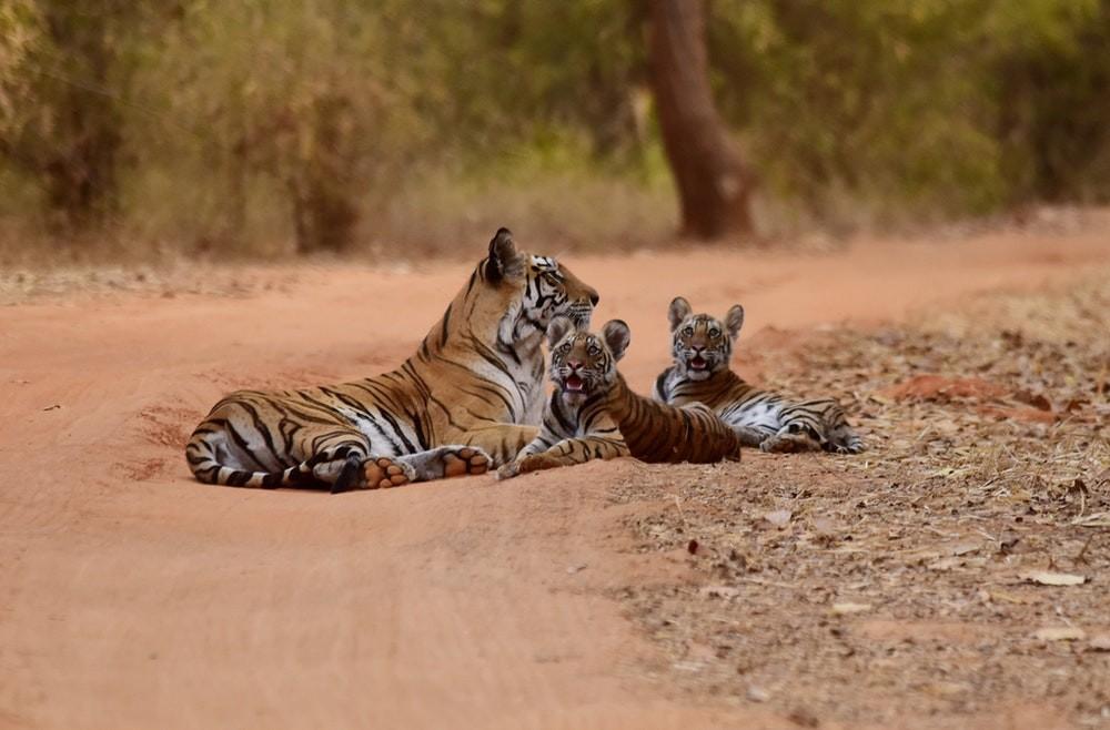 Nascimento de tigres-de-bengala na Índia é uma ótima notícia (Foto: Max Pixel/Creative Commons)