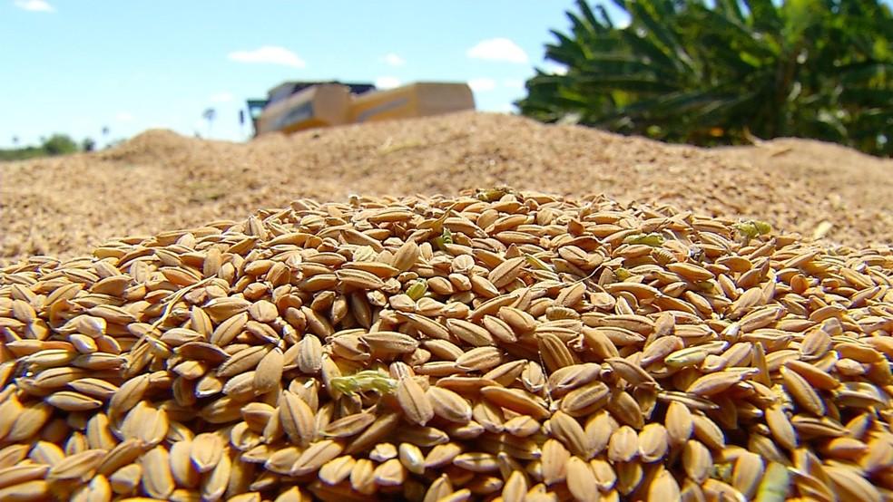 Produção do arroz vermelho melhorou em Apodi, no Oeste potiguar (Foto: Reprodução/Inter TV Costa Branca)