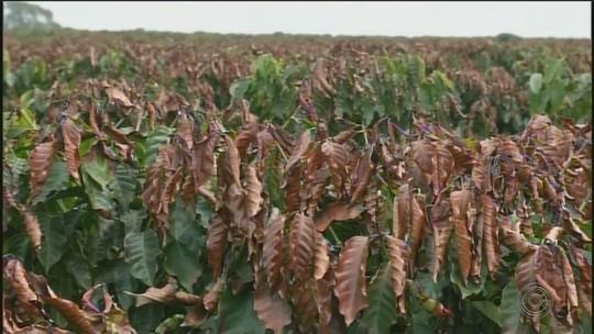Produtores de café da região de Itapetininga se preocupam com danos causados por geadas