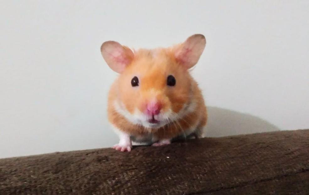 Hamster 'Sand Claude' foi resgatado do ralo do banheiro com a ajuda de um aspirador de pó — Foto: Isabelle Tafuri/Arquivo pessoal