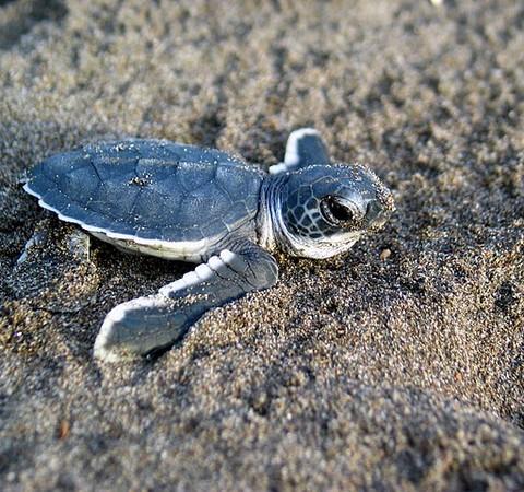 Plástico é encontrado dentro de tartarugas marinhas filhotes na Austrália