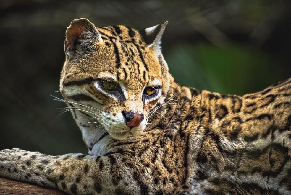 Jaguatirica leva vantagem por não ser pequena nem grande demais — Foto: Mauro Regalado/Acervo Pessoal
