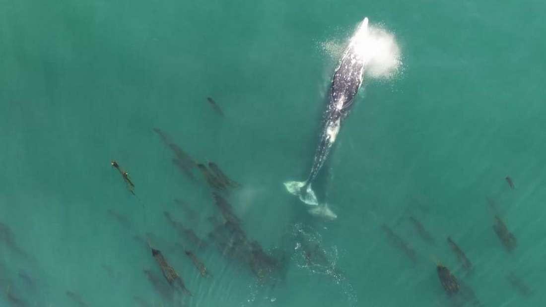Baleia-cinzenta soltando um cocô enorme (Foto: Reprodução/Oregon State University)