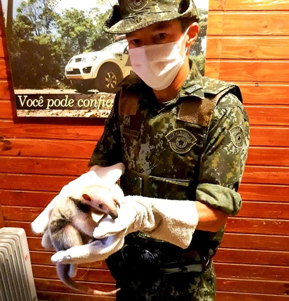 Filhote de Tamanduá-Mirim é salvo e entregue a Polícia Ambiental em Caraguatatuba — Foto: Divulgação / Polícia Militar Ambiental