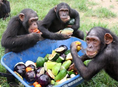 Chimpanzés reagem mais rápido a cooperar do que a fazer escolhas egoístas, diz estudo