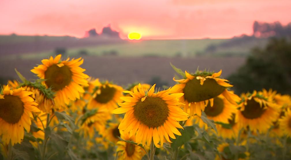 Girassóis se movem de acordo com o movimento do sol (Foto: Jefferson Barbosa/Reprodução EPTV)