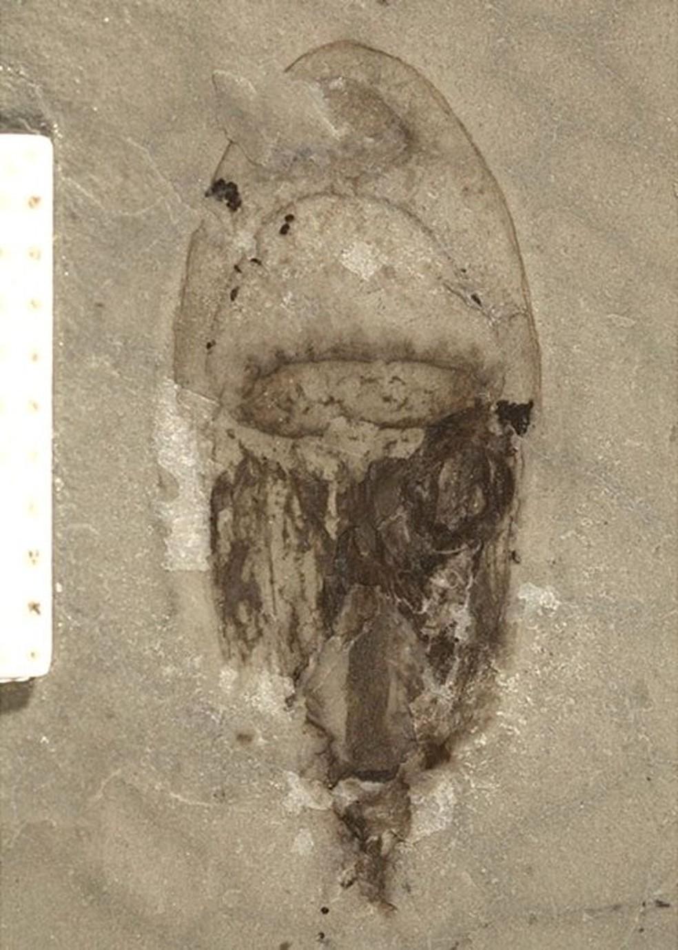 Fósseis de espécies de corpo mole, como a água-viva, são extremamente raros — Foto: AO SUN/BBC