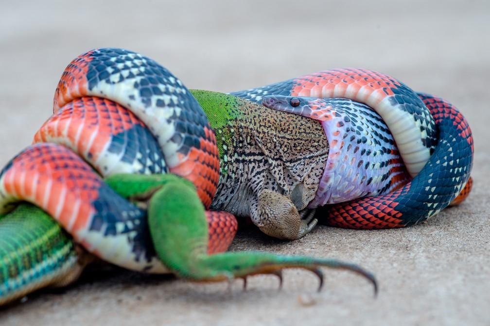 12 de janeiro - Cobra devora lagarto em cena de 'vida selvagem' registrada na área urbana de Bauru (SP). Fotos impressionantes feitas no dia 29 de dezembro foram divulgadas pelo fotógrafo esta semana (Foto: Junior Esteves/Arquivo pessoal)