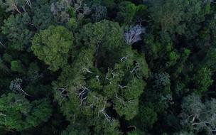 As cinco maiores árvores brasileiras