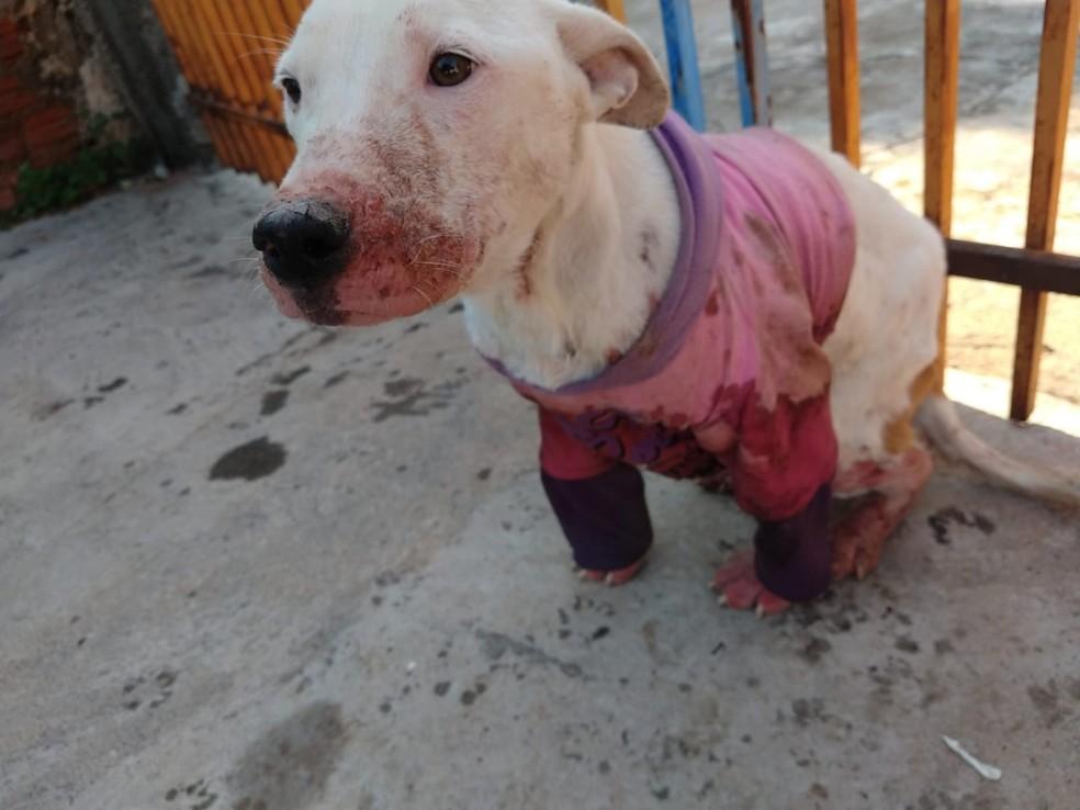 Policiais flagraram maus-tratos a cão da raça bull terrier em Presidente Prudente — Foto: Polícia Militar Ambiental