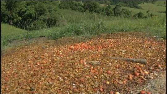 Insatisfeitos com preço, agricultores jogam toneladas de tomate às margens de rodovia