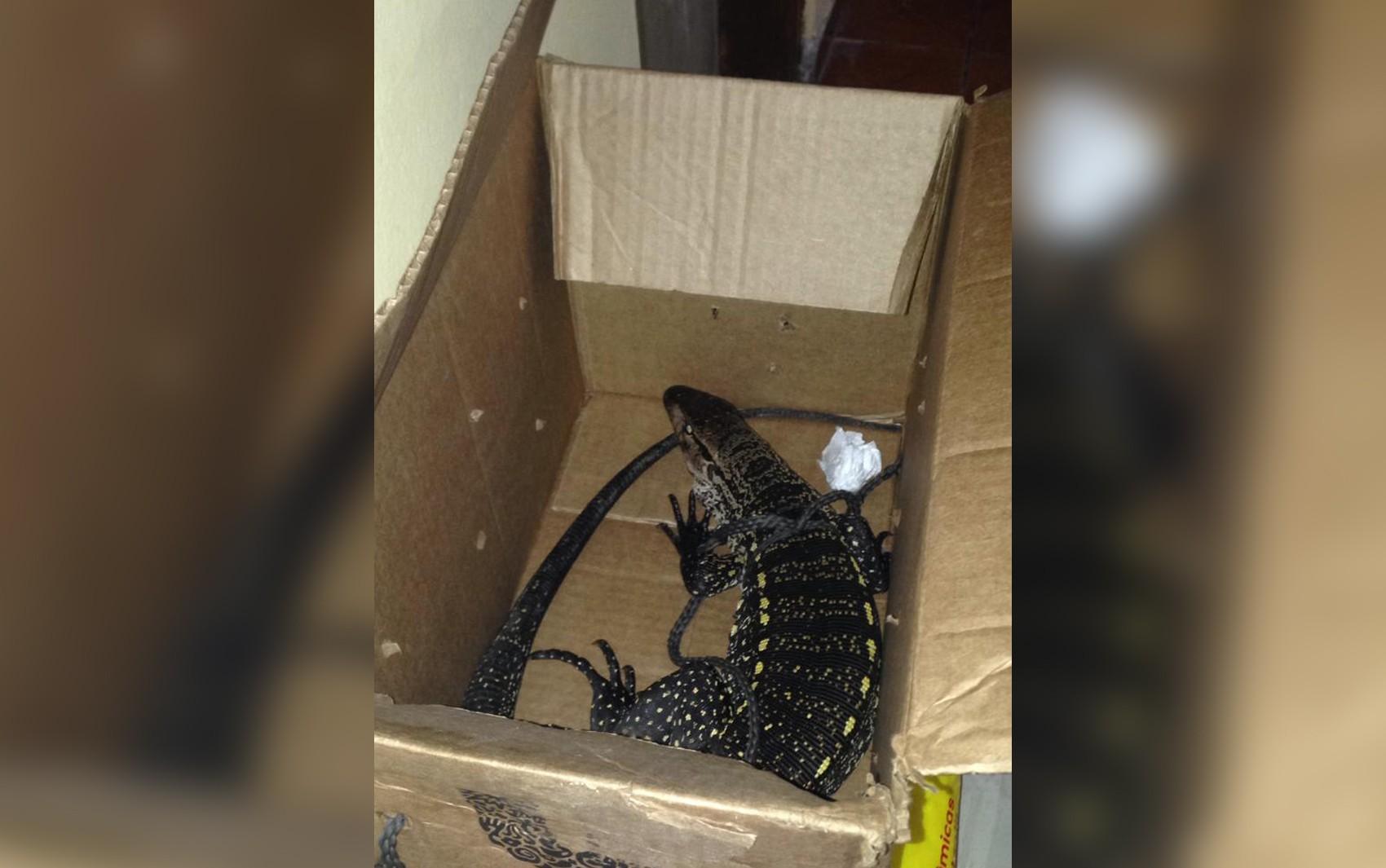 Homem salva lagarto de virar comida em SP e fica 3 dias com bicho em casa à espera de resgate
