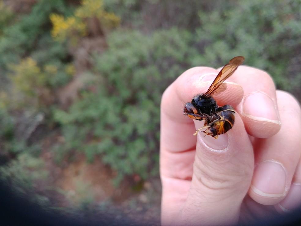 Espécime da Vespa velutina, inseto é da mesma espécie que teria atacado o apicultor espanhol — Foto: Pexels/Arquivo