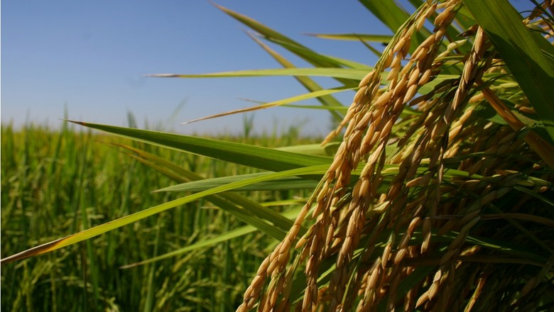 agricultura_arroz (Foto: Paulo Rossi/Ed. Globo)