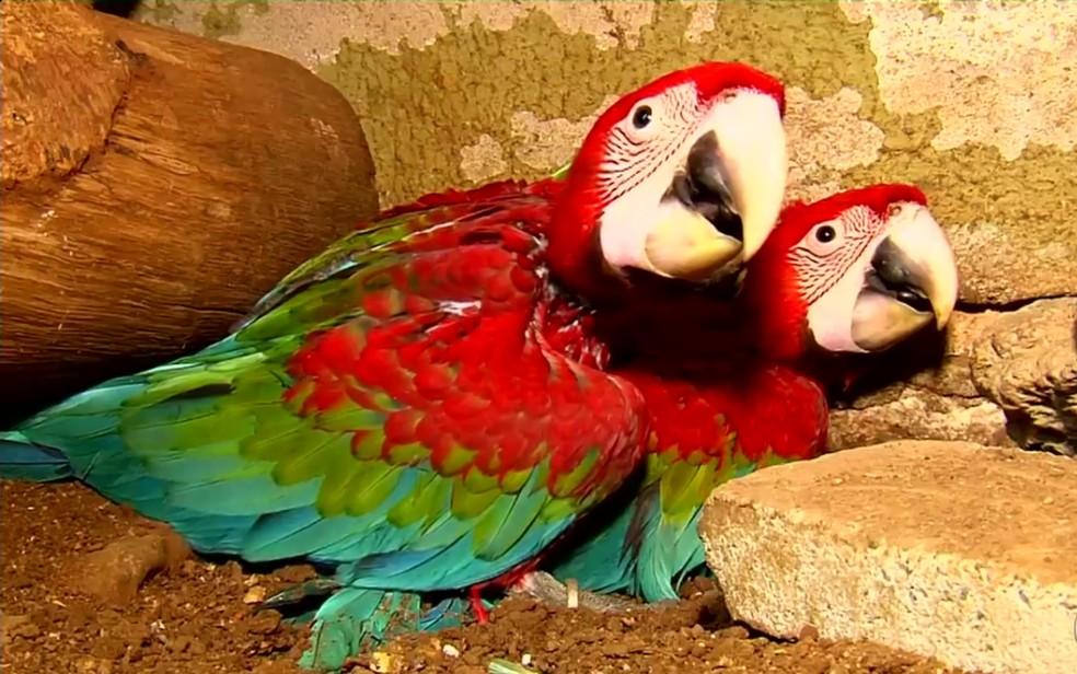 Filhotinhos de arara vermelha fazem sucesso no Zoo de Goiânia (Foto: TV Anhanguera/Reprodução)