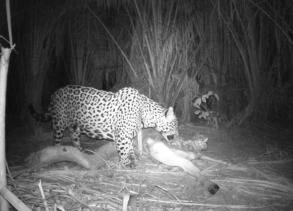 Felino não é comum de ser avistado em propriedade no Mato Grosso do Sul — Foto: Fazenda São José