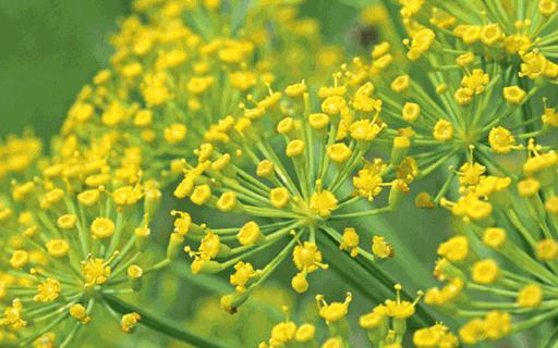 Como plantar erva-doce - Revista Globo Rural   Como plantar