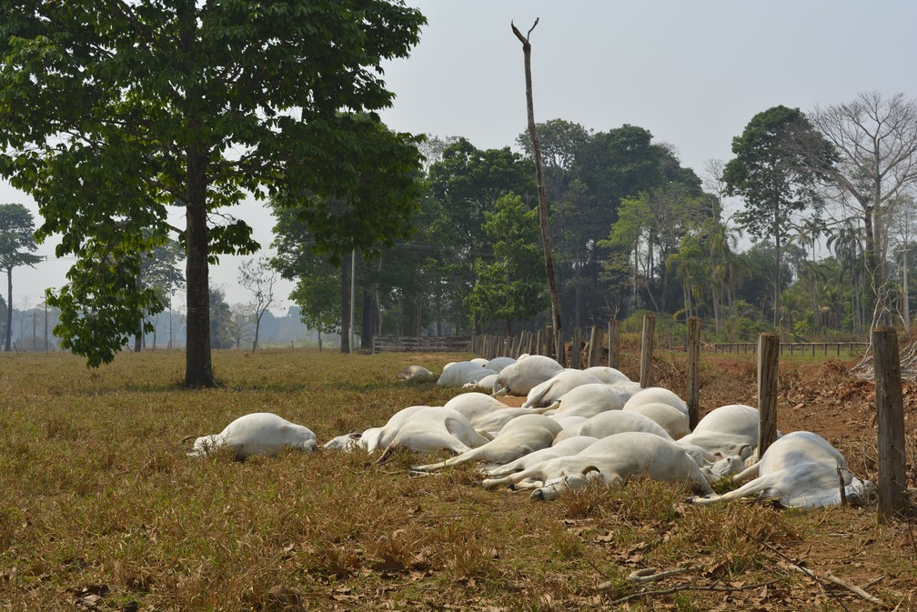 Bois estavam ao longo da cerca da propriedade (Foto: Jeferson Carlos/G1)