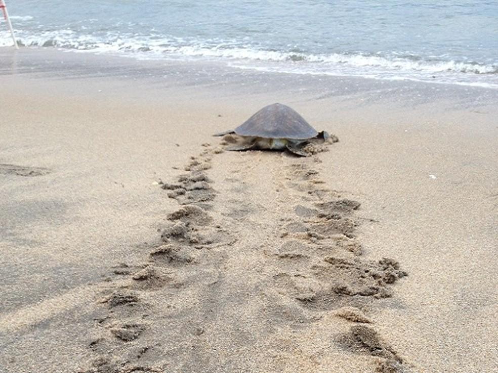 Tartarugas representam mais da metade dos resgates de animais marinhos feitos pelo instituto — Foto: Divulgação/Tramaweb